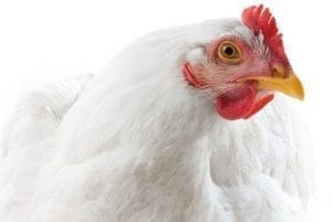 phytomolecules to support antibiotic reduction in poultry
