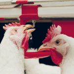 Challenging times for broilers? Phytomolecules, not antibiotics, are the answer