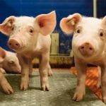 egg immunoglobulins bolster piglets' immune system