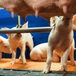 Optimal conditions in the farrowing unit put piglets in pole position