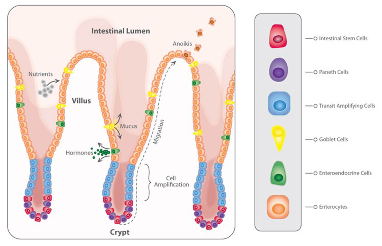 The intestinal epithelium