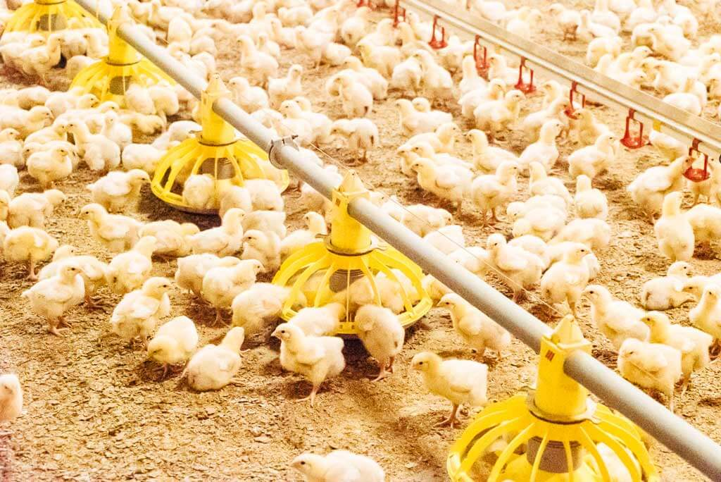 Increased profitability in poultry production