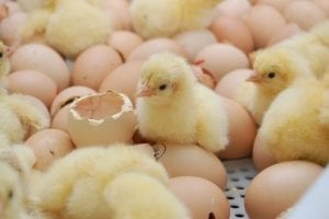 boosting poultry performance phytomolecules