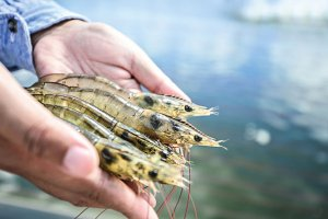 aquaculture shrimps vibriosis