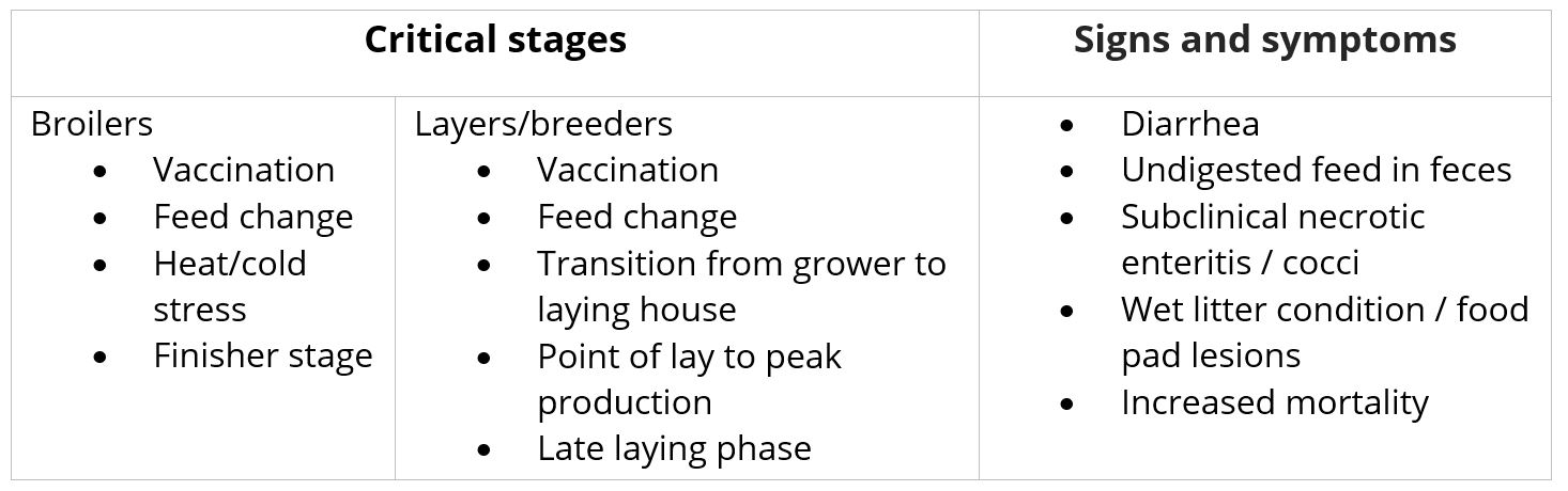 Critical stages for gut health issues in poultry birds