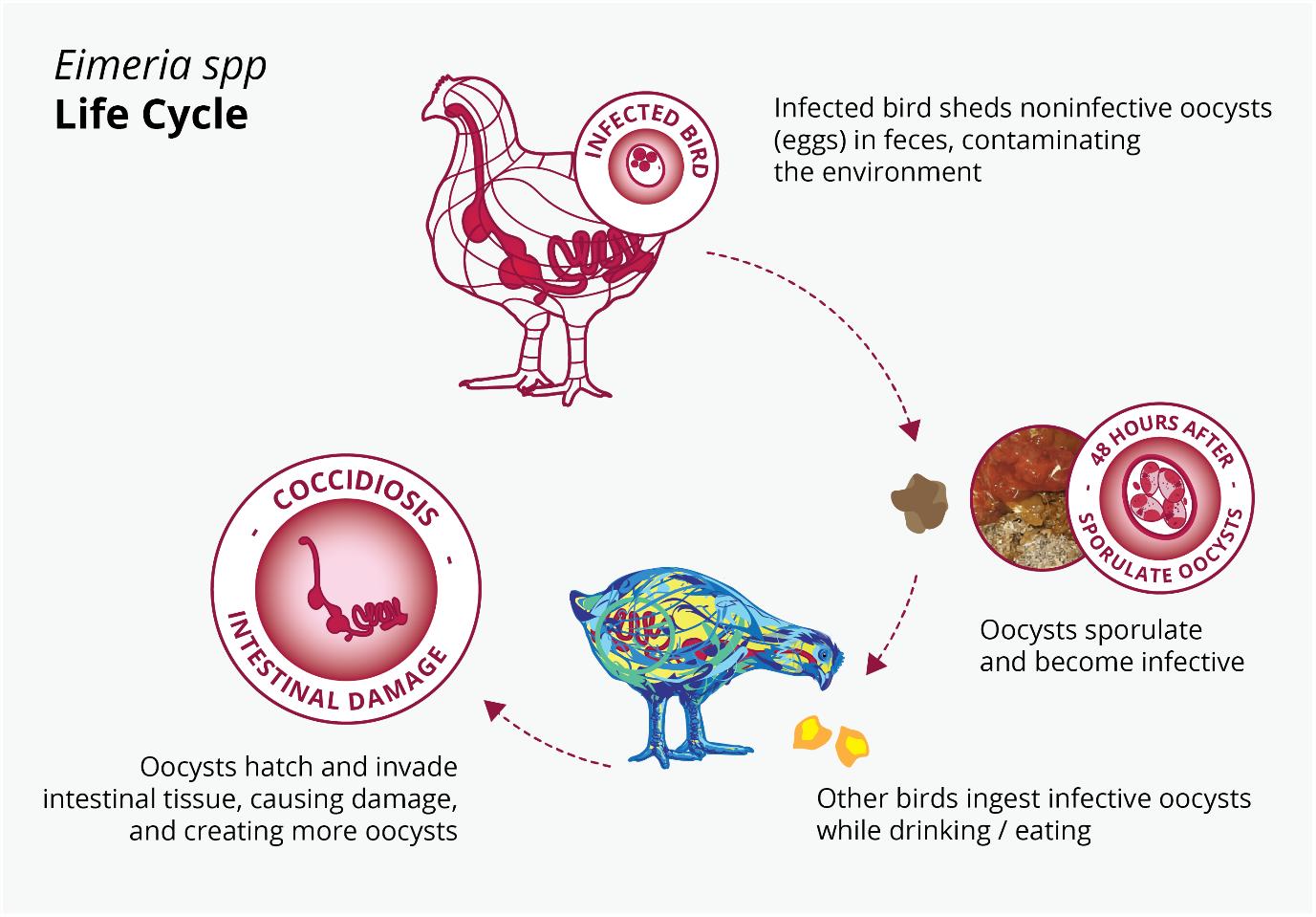 Figure 3: Eimeria spp. life cycle