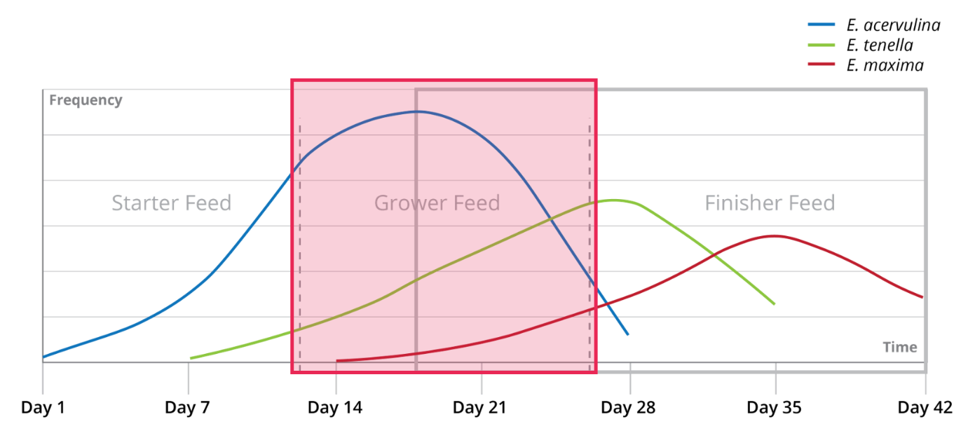 Figure 4: Typical development of a coccidia infection in relation to broiler feed phases