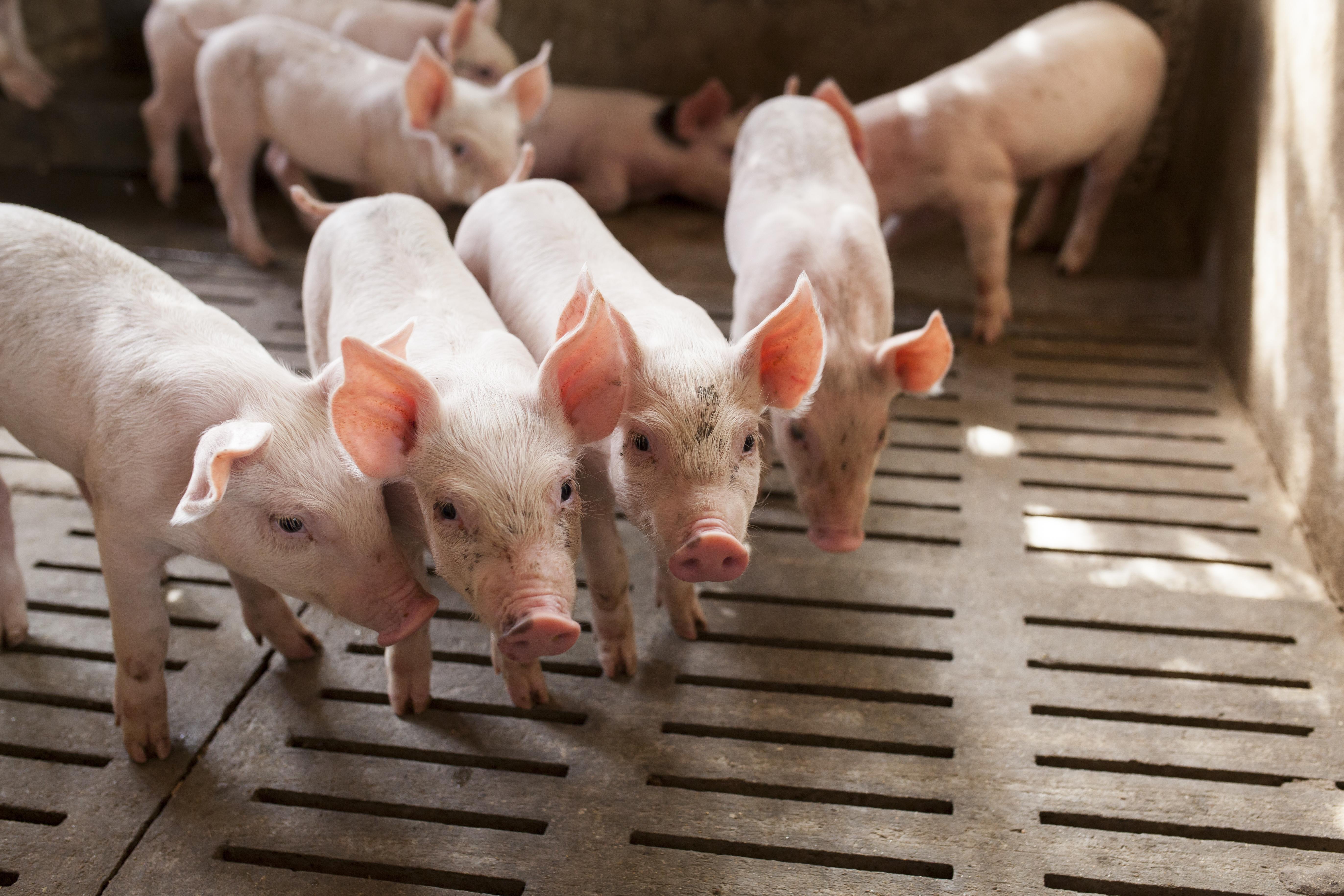 Understanding and managing Strep suis in swine The essentials ...