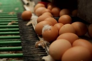 Understanding the dangers of mycotoxins for breeder hens