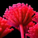 aspergillus mycotoxins