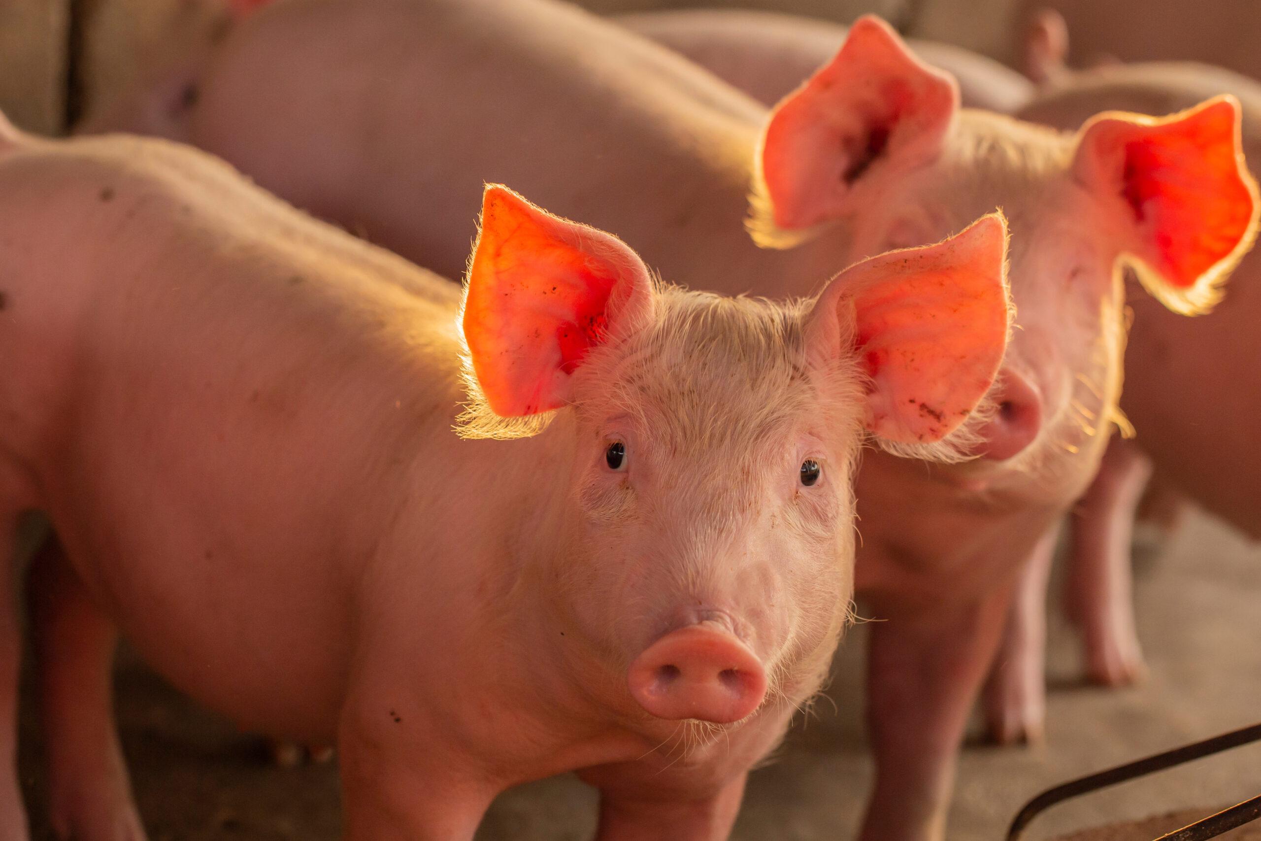 SWINE PIGS PIGLETS SUSTAINABLE AMR