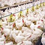 Heat stress in poultry