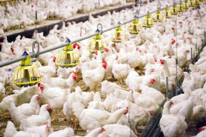 Clinical signs of respiratory disease in chickens heat stress